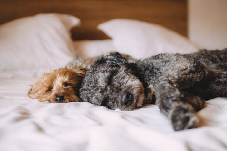 dog sleeping dog snoring