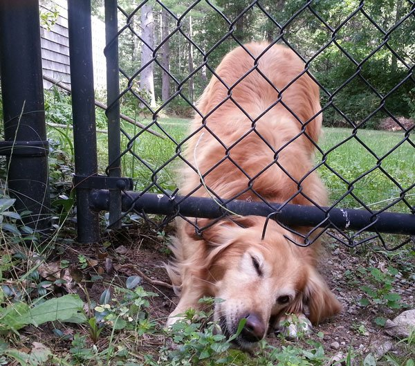 Solutions to Stop a Dog from Digging Under Fence or Digging Up Your Yard
